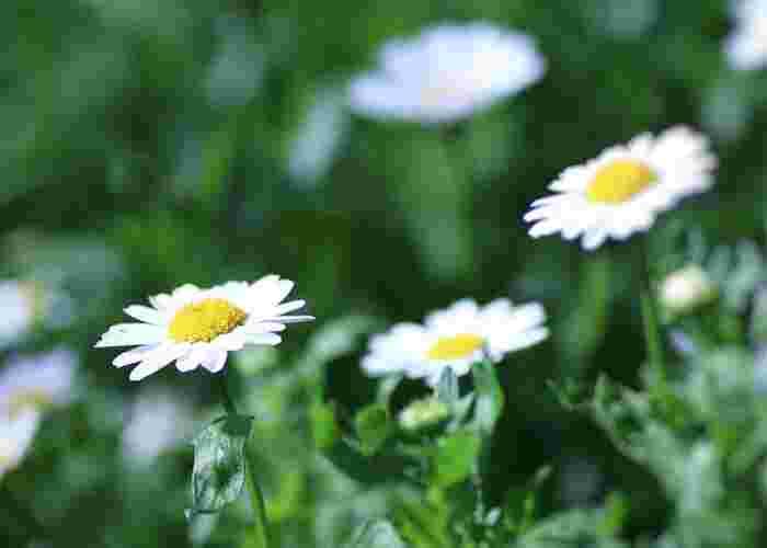 マーガレットは花びらを一枚ずつ「好き、嫌い」と摘み取って恋心を占う恋占いの花。花言葉にも「真実の愛」「恋を占う」「予言」「心に秘めた愛」といった意味があります。また、ギリシャ神話で純潔の女神・アルテミスに捧げられた花であったため、「誠実」「貞節」という花言葉も。結婚式のブーケに好まれる愛にあふれた花です。