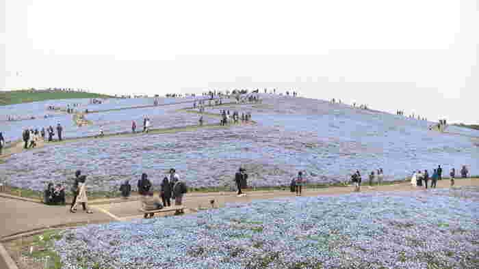 JR常磐線の勝田駅や東海駅などからバスで行ける「国営ひたち海浜公園」は、ひたちなか市の太平洋岸にある公園。自然の中で楽しめるレジャースポットやお花畑など、見どころがたくさん。今シーズンはすでに終わってしまいましたが、淡いブルーのネモフィラのお花畑でも有名です。