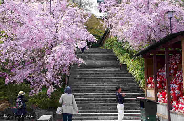 箕面市の山間部に位置する勝尾寺は、「開運必勝祈願」、「勝ちダルマ」の寺院として勝運信仰で古い歴史を持つ寺院です。約8万坪におよぶ広大な境内にはカンヒザクラ、シダレザクラ、サトザクラ、山桜など様々な種類の桜が植樹されています。