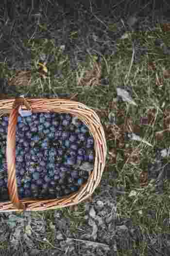 フィンランドの森は自然享受権により、誰でもベリー摘みやきのこ狩りを楽しむことができます。 ブルーベリーやクラウドベリー、こけももなど白夜に熟すベリーは独特のおいしさがあり、ビタミンとフラボノイドがたっぷり含まれています。 ベリー摘みのシーズンは7月の終わりから9月、きのこ狩りは晩夏から雪が降るまで。 旅行者におすすめの場所は、ヌークシオ国立公園。ヘルシンキからバスで約1時間ほどで行ける場所です。