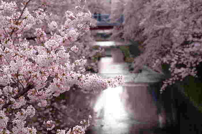 両岸から川に向かってせり出す桜の枝はまさに桜のトンネル。橋の上から桜を間近に楽しむのもおすすめ。