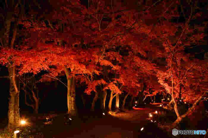 大覚寺では、紅葉の季節になると夜間のライトアップが行われます。漆黒の世闇を背景に光を浴びて紅葉した樹々が浮かび上がる様は幻想的で、日中とは異なる風情を楽しむことができます。