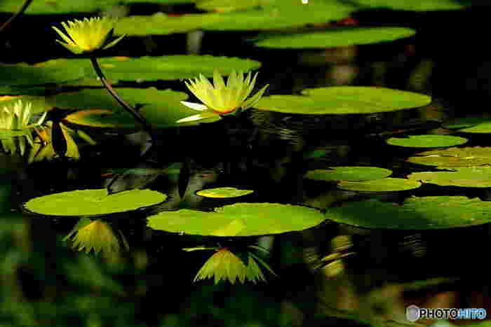 熱帯スイレンも見どころのひとつ。鮮やかで美しい色合いに、たちまち目を奪われます。水に反射する様子も、とてもきれいでどこか神聖な雰囲気です。