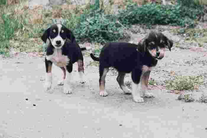 犬を育てているブリーダーさんから直接受け入れることもできます。どんな環境で育てられているのか直接確認することもでき、健康チェックも行われているので安心。実際にブリーダーさんの元に訪問して、犬を選ぶこともできますよ。