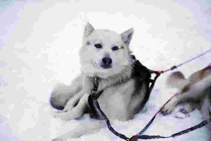 一面の銀世界を駆け抜ける犬ぞり。走るのが大好きなうえに人間を愛してくれる犬たちは、観光客用のそりも、一心に引いてくれます。