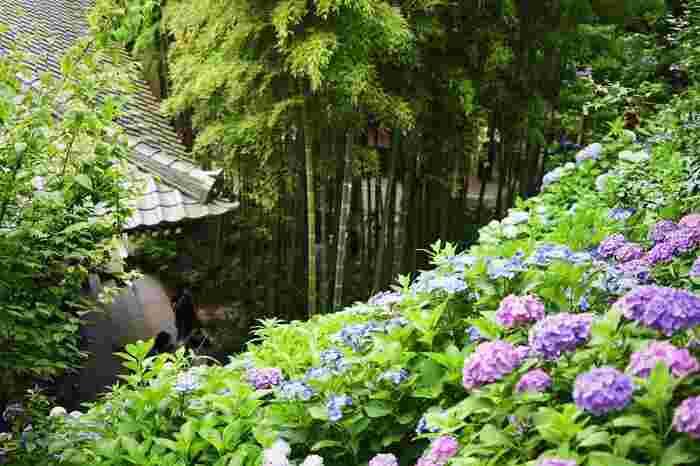 【画像は、紫陽花が咲き乱れる「長谷寺」】