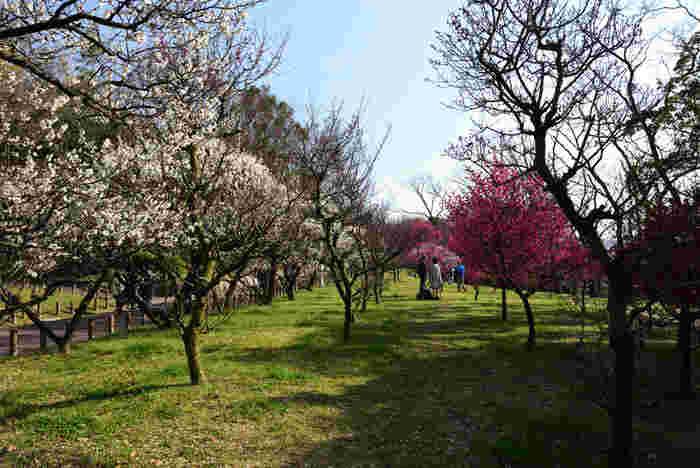約1400本もの梅の花が咲き誇る中、広い公園内をのんびりと散策し、一足早く春の訪れを感じてみてはいかがでしょうか。