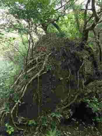 御蔵島の魅力は海だけではありません。島全体は全国でも有数の巨樹の森や手つかずの原生林に覆われています。