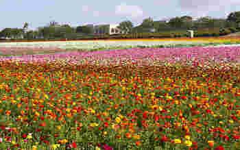 ラナンキュラスの見頃は3月~5月。こちらの花畑は敷地があまりに広いため、乗り物に乗って参加するツアーもあるそうです。まさに見渡す限りの絶景ですね*