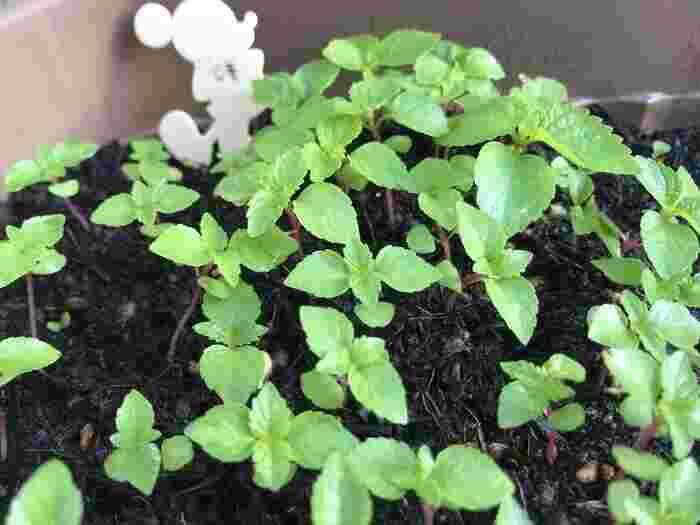 シソの種蒔きは、気温が高くなった4月~5月が適しています。シソは種が硬いので、種蒔きの前日に水につけておくと発芽しやすくなります。育苗ポットなどにまいたら、土が乾かないように管理します。10日ほどで発芽します。草丈が10cmくらいになったら、鉢や地面に植え替えて育てます。