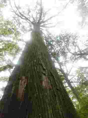 補正されていない山道をかき分けてたどりくのがこの大杉。 樹齢約230年。青ヶ島の歴史と言ってもいいほど、はるか昔から青ヶ島を見守っています。 見上げる空が遠くに感じますね。