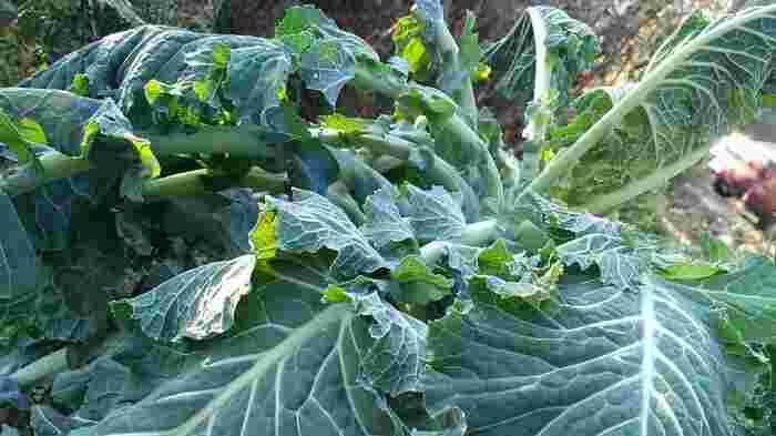 コラード系のケールは丸みを帯びた葉と、シワのない表面が特徴的です。色は濃いグリーンで、キャベツの外側の葉に似ています。葉は柔らかいのですが、茎の部分が固いので、葉と茎の両方を食べるときは、時間差で調理するようにすると美味しくいただけます。