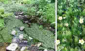 水面に咲くバイカモ。清流に白く可憐な花が咲き乱れる光景は、とっても幻想的。