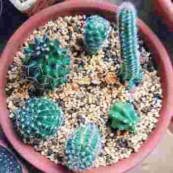 サボテンは、湿度を嫌います。土がつねに湿っていると根腐れを起こしやすいので、プラスチックではなく、素焼きの鉢を使いましょう。ブリキ缶の場合には、底に穴をあけて水はけをよくします。鉢のサイズは、サボテンよりひと回り大きいくらいが適当です。
