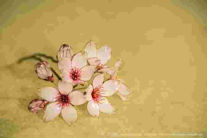 とろんとたゆたうような乳白色。根本だけが淡いピンク色の花びら。七分咲きに今を盛りと開ききった花に明日には開きそうなつぼみ、まだまだ固く締まったつぼみ…日本人にとって特別な花、「桜」をこうまで美しく咲かせられる簪作家さんを、私は榮さん以外に知りません。 Photo by Ryoukan Abe (www.ryoukan-abe.com)