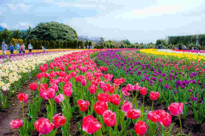 秦野戸川公園では白、赤、紫、黄色など色とりどりのチューリップが整然と植えられています。ここでは、まるで大地に七色の虹が舞い降りたかのような景色を眺めることができます。