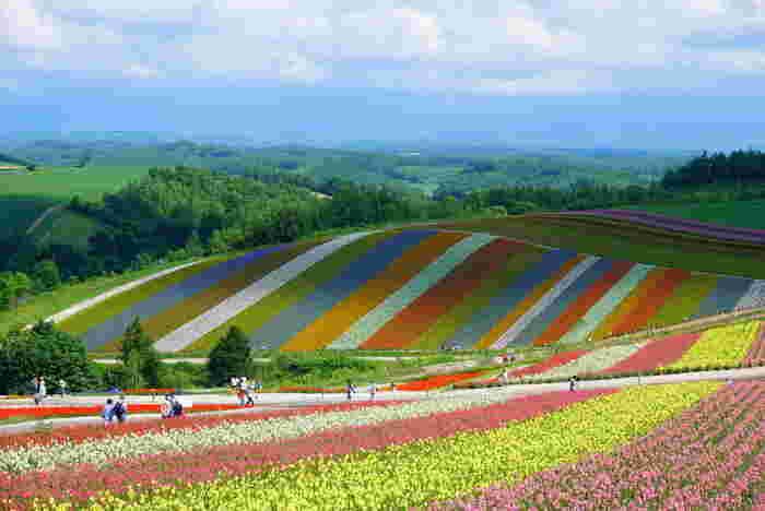 ラベンダーをはじめ、約30種類の花々が栽培されている四季彩の丘では、色とりどりの花々が競うように花をさかせており、まるで大地に虹が舞い降りたような景色が広がっています。