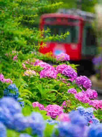 今年は箱根の「あじさい電車」に乗ってみませんか?箱根登山鉄道沿線のあじさいは、6月中旬からが見頃です。夜もまた、ライトアップの光に彩られた幻想的なあじさいの景色を楽しむことができます。