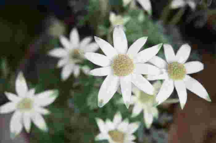 フェンネルと名前が良く似ていて、間違えられる事があるのがフランネルフラワー。フランネルフラワーはこんな風に白いカワイイお花が咲くので、株で購入する時には気を付けてくださいね。