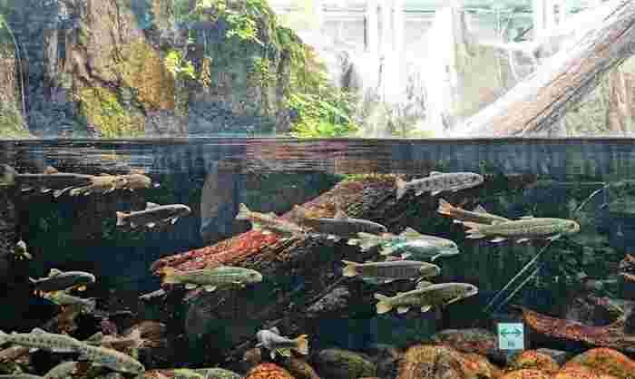 「弁天門」の入り口から入ってすぐにあるのが「水生物園(分園)」。日本産の淡水魚や昆虫などの水辺の生き物を観ることができます。ニジマスやイワナなど馴染みのある魚の展示は、思わず見入ってしまうほど。