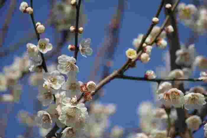 山里を覆う約5000本の梅林を歩いていると、ほんのりと梅の良い香りが漂ってくるような気分を覚えます。見上げると、抜けるような青空と、可憐に咲く白い花びらが織りなす素晴らしいコントラストを見ることができます。