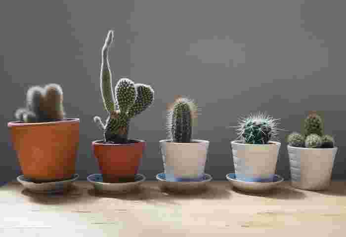 サボテン科の植物は、約140属・2000種類以上あるといわれ、トゲを楽しむ品種や花を楽しむ品種など多岐にわたります。