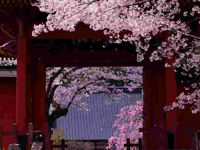 桜の時期には、こんな写真もいいですよね♪