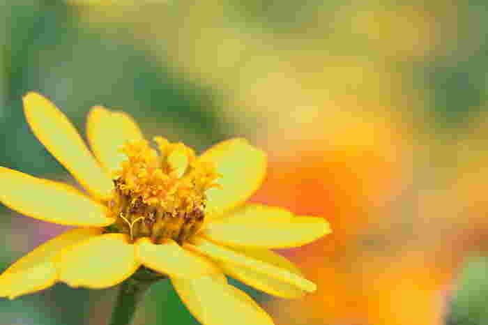 百日草の花言葉は『不在の友を思う・絆・古き良き時代・いつまでも変わらぬ心・幸福』  初夏から晩秋にかけての長い期間楽しめるということから【百日草】の名がつけられたのだとか。マットな質感で鮮やかな発色が美しい、キク科の花です。