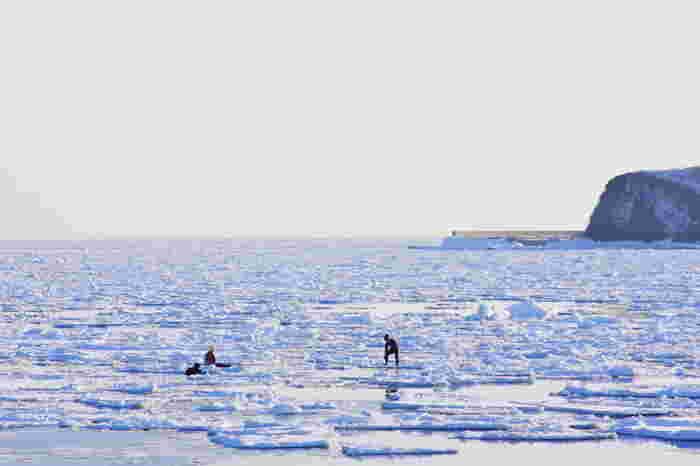 「網走」と聞けば、流氷を思い描く人も多いのではないでしょうか。毎年冬になると、オホーツク海から流れてきた流氷が海岸に押し寄せ、網走の海岸は一面の流氷原と化します。流氷が完全に固まっているときには、流氷原で遊ぶ人の姿を見かけることもできます。