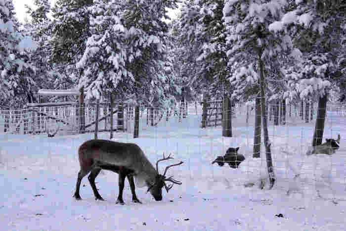 サーミ族とは、ラップランドとよばれる、北欧スカンジナビア半島の最北部、北緯66度33分の北極線より北の北極圏中心(ノルウェー、スウェーデン、フィンランドの北欧三国とロシアの四ケ国)に住んでいるトナカイ遊牧民。