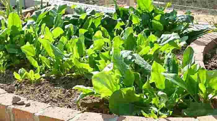 年中見かけるほうれん草ですが、寒さに強く秋にも植えられる野菜です。水はけの良い培養土を用意すれば、プランターでも十分育てることができますよ。霜にも強いのですが、葉先へのダメージが気になる場合はネットを掛けてもOKです。