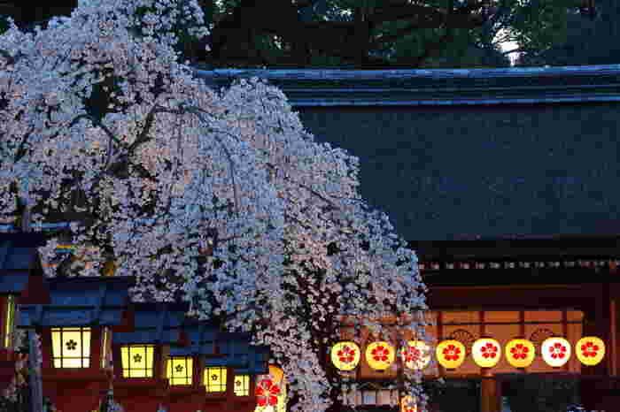 桜の名所として有名な「平野神社」では、桜が一番咲き誇る時期に合わせて花見茶屋が設けられ、多くの人で賑わいます。夜桜のライトアップも行われ厳かな雰囲気の中で食事ができるのは嬉しいですね。早咲きから遅咲きまで多品種植えられているので3月から多彩の桜を愛でることができるのも人気のヒミツ。