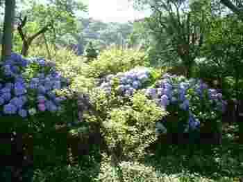 6月中旬から下旬は、紫陽花が美しい季節。