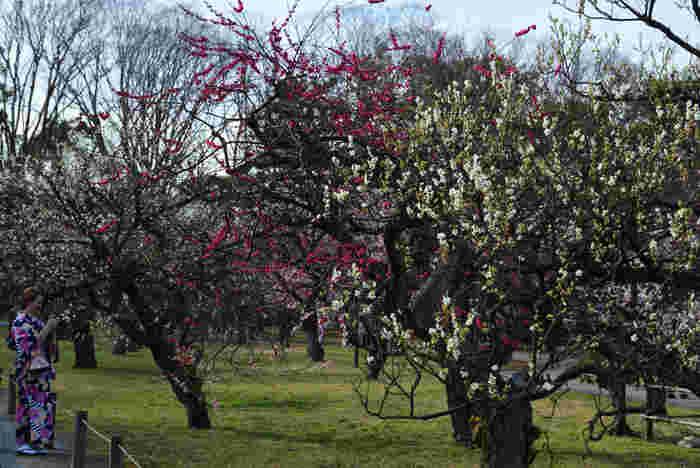 史跡・観光地として有名な二条城の城内には、約130本の梅の木が植えられており、毎年多くの観光客が梅林鑑賞にここを訪れています。