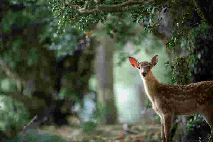 また、奈良公園にはたくさんのシカが生息しています。爽やかな森の空気を肌で感じながら、愛らしいシカたちの様子を眺めて森林浴をしてみるのもおすすめですよ。