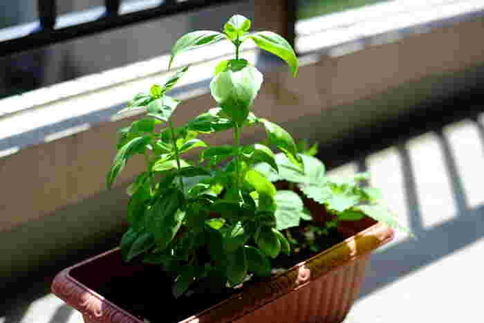 春から初夏にかけては、ベランダ菜園を始めるのにいい季節ですね。自分でまいた種が芽を出し、葉を出し、実をならせ、収穫するよろこび。成長する姿を毎日眺めながら、水をやるのも楽しみです。さて、今日は何を摘んでサラダにしましょうか♪