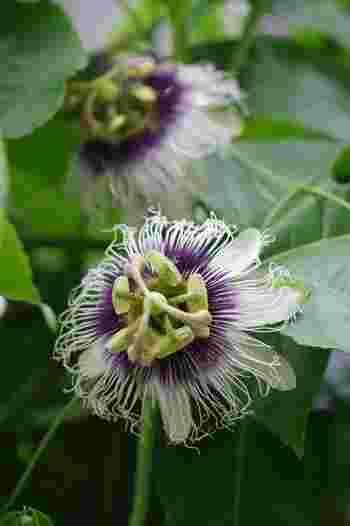 """パッションフルーツの花。""""passion""""は、受難の意味。十字架上のキリストのイメージから名付けられたとか。 栽培は沖縄や小笠原諸島などの南国が中心ですが、暑い時期に短期間に開花・結実するため、長野県や岐阜県にも畑が作られています。"""