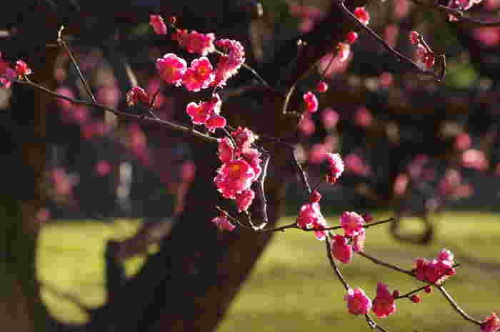 いち早く春を感じさせてくれる紅梅は今が見ごろを迎えます。鮮やかな濃いピンクは緑少ないこの季節を鮮やかに彩ってくれますね。
