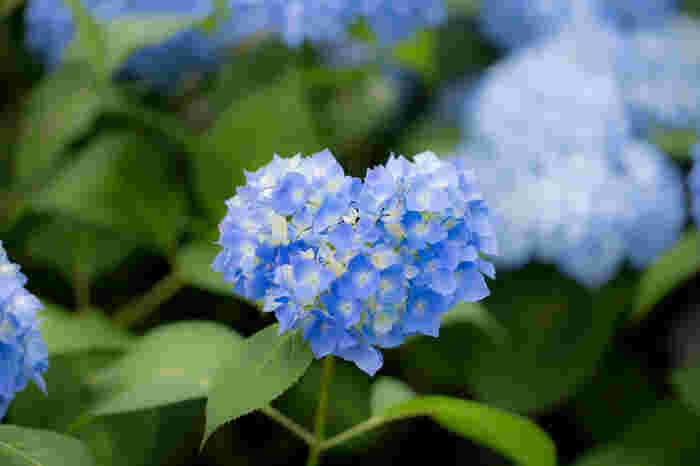 アジサイの花を一つ一つじっくり鑑賞してみましょう。庭園内には、ハートの形をした可愛らしいアジサイが咲いており、訪れる人を幸せな気分にさせてくれます。