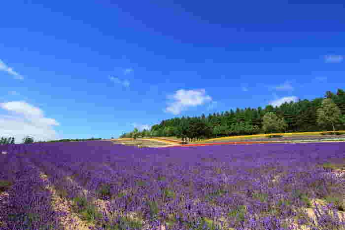 抜けるような青空、空に浮かぶ白い雲、果てしなく続く薄紫色のお花畑、樹々の緑が織りなす景色は、絶景そのものです。