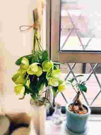 クリスマスローズの花をカットした後は、こちらのようにおしゃれな「ドライ」として楽しむこともできます。束ねて吊るすだけで簡単に作れるので、綺麗な花が咲いたらぜひ挑戦してみませんか?