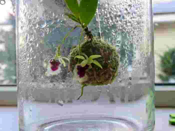 その場合には苔玉を一度解体し、根腐れしている部分を取り除いて、新しい土に植えましょう。何の虫かわからないときは、植物用殺菌・殺虫剤を1週間に1回散布して様子を見てください。
