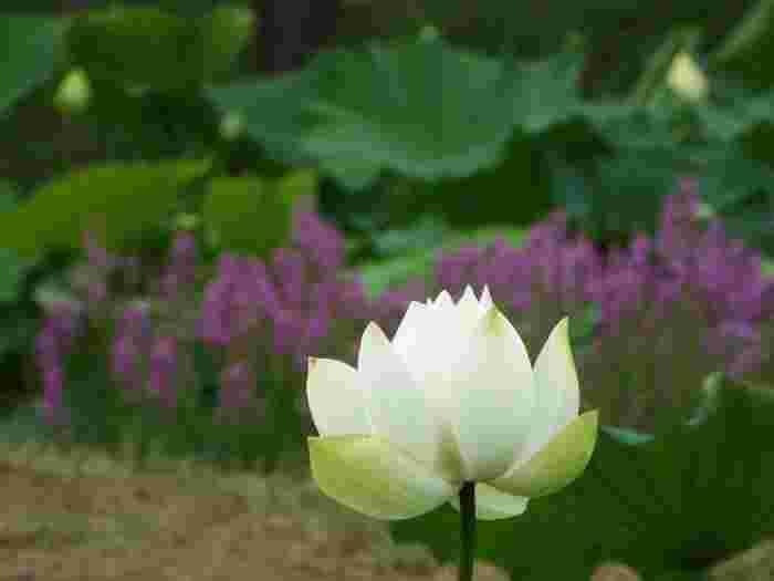 丹精込めて育てられた蓮の花は、見ているだけで癒されますね。