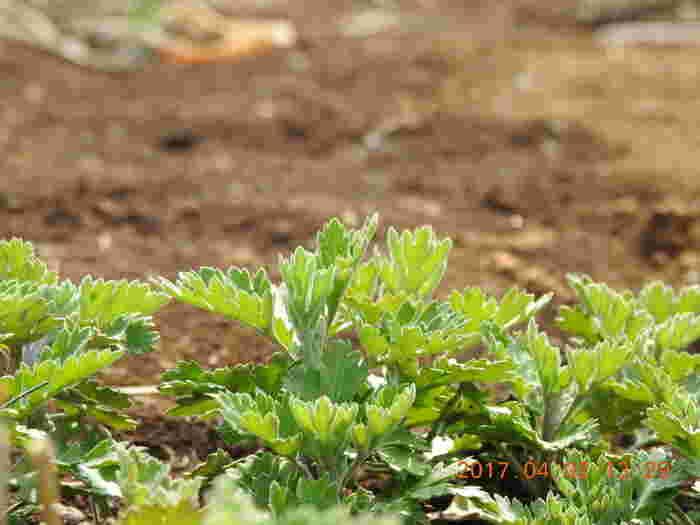 和のハーブの代表、ヨモギも玄米と同じように蒸気で温まる性質があります。玄米の蒸気にヨモギの蒸気も加えて、簡単ヨモギ蒸しを試してみましょう。