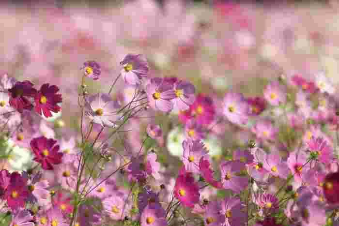 秋に咲くのはもちろん、種類によっては初夏に咲くものもあるコスモス。コスモス全般の花言葉は「調和」「乙女の純真」。そして、白は「優美」「美麗」、赤は「乙女の愛情」、ピンクは「乙女の純潔」という花言葉を持っています。どの言葉もとても柔らかく、美しい言葉です。