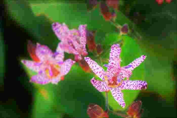 日本原産のユリ科の植物。山地の日陰や、庭の隅っこの湿っぽい場所に咲きます。花びらに、濃い紫色の斑点があるのが特徴で、鳥のホトトギスの胸の斑点と似ていることから名付けられたそう。 ちなみに、英語圏では「Toad lily(ヒキガエルのようなユリ)」と呼ばれるとか。これも、斑点ゆえ(+_+)
