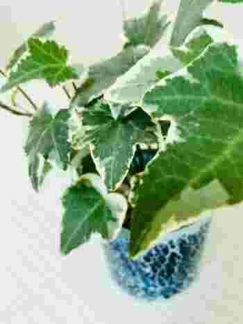 【ポイント】 環境の変化に弱いアイビーは、置き場所を変えると突然葉を落としてしまうことがあります。ただし、すぐに新しい葉が出てくることが多いので、慌てずにしばらく様子をみてあげましょう。