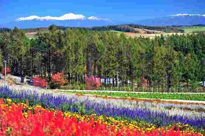 なだらかな丘陵地帯に広がる「四季彩の丘」は7ヘクタールの敷地面積を誇る広大なお花畑です。初夏から晩秋にかけて、ラベンダー、ヒマワリ、コスモスといった約30種類にも及ぶ花々が大地を覆い尽くします。