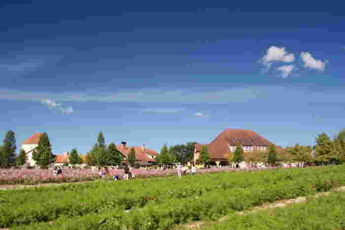 コスモス畑は遠望すると、まるで大地にピンク色の絨毯を敷き詰めたように見えます。抜けるような青空、ドイツ風の可愛らしい建物、緑の樹々、濃淡ピンクのコスモスが見事に融和した景色は、まるでヨーロッパの田園風景のような美しさです。