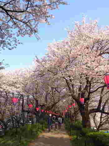 桜のトンネルの中をゆっくり歩くと、ふんわりと桜の香りが漂います。開花時期には「桜まつり」が開催され、約100店もの露店や屋台が出店しています。